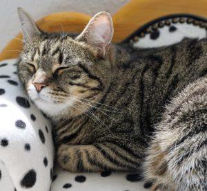 ソファにねそべって寝る猫の写真