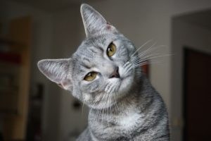 首をかしげた猫の写真