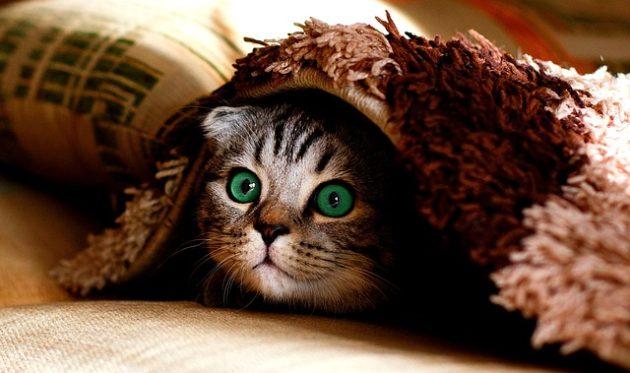 毛布から顔をのぞかせる猫